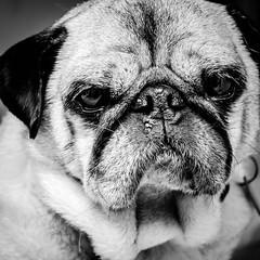The many faces of pug (emmoff) Tags: blackwhite pug oftenhelookslikeadifferentpug hardlyhorn officepugwantsout
