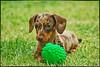 ♪♫ COCO ♫♪ (mutter2009 *OFF*) Tags: dog puppy dachshund coth theworldwelivein supershot nikond60 fantasticnature chocolatedapple coth5 clydesfriendsonlyfordogs