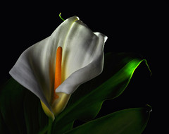 Calla Light and Shadows (Bill Gracey) Tags: lighting plant flower macro texture nature fleur black