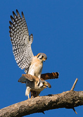 AMERICAN KESTRELS (sea25bill) Tags: california morning blue winter sky sun birds raptor falcon mating americankestrels