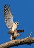 AMERICAN KESTRELS (sea25bill) Tags: california morning blue winter sky sun birds raptor falcon mating americankestrels