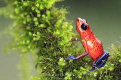 Blue Jeans (Megan Lorenz) Tags: travel red wild macro nature toxic closeup warning outdoors costarica colorful vibrant wildlife amphibian frog getty bluejeans poison centralamerica sarapiqui dartfrog 2013 bluejeansfrog strawberrypoisondartfrog mlorenz meganlorenz