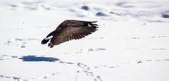 Lifting off (museum98) Tags: calgary canon goose alberta canadagoose birdsanctuary inglewoodbirdsanctuary me2youphotographylevel1
