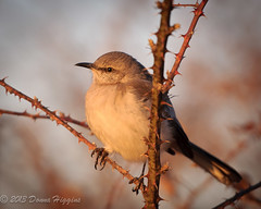 Mockingbird (MissTessmacher) Tags: bird animal nikon mockingbird valleyforgepark d90 70200f28vrii