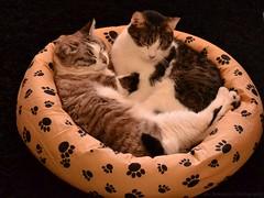 Yamila & Pim (Lidie71) Tags: sleeping italy cats cat katten kat pim gatto gatti poes yamila 55300mm d3100