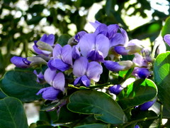 Purple passion . . . the fragrance of Texas Mountain Laurel tree (pawightm (Patricia)) Tags: austin texas explore inmygarden centraltexas frijolito sophorasecundiflora mescalbean fabaceaepeafamily frijolillo pawightm mescalbeansophora grapebubblegumfragrance texasmountainlaurelblooms bloomingevergreentree purplebloomingtree smalltexasnativetree shinyleafevergreentree highlyfragrantblooms rscn5877