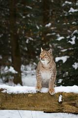 Lynx in snow (Cloudtail the Snow Leopard) Tags: wildpark pforzheim tier animal säugetier mammal luchs lynx nordluchs eurasischer cat katze winter schnee snow cloudtailthesnowleopard