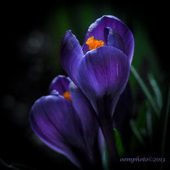 The Colour Purple (oomphoto) Tags: flower blackbackground petals spring purple crocus petal stigma colourpurple tyrian flowerthequietbeauty irisfamilymacro