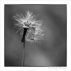 Blowin' in the wind (Ingrid Douglas Images - ART in Photography) Tags: bw squareformat blackandwhitephotography seedsinthewind littleweeds ingriddouglasphotography