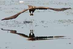 Yellow Billed Kite Fishing (Milvus aegyptius parasitus) (paulinuk99999 (back in Ghana)) Tags: africa fish kite reflection yellow river fishing wing talon ghana catch splash capture volta glide adome billed milvusaegyptiusparasitus paulinuk99999 sal70400g kpong reflectionslovers