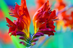 Crocosmia - red (gayatri_palle) Tags: flowers red summer orange flower color yellow scarlet garden nikon colorful bright ngc national crocosmia geographic nationalgeographic nikondslr d700 nikon105macro