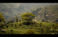 On the way to kotagiri. (HareshKannan) Tags: tree green temple nikon tea hill deep falls hills evergreen catherine plantation 1855mm slope kotagiri d3100 aravenu