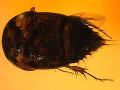 Dominican amber (20-30 MYO) - rare Horseshoe crab beetle (Staphylinidae, Trichophyinae) - 1 mm (leth.damgaard) Tags: male beautiful closeup bug insect poster fossil amber ancient perfect raw dominican pics unique postcard familie beetle picture insects bugs postcards buy mineral creatures biology insekt rare bursztyn jantar description extinct anders raf antennae fossils bernstein ambre extremely arthropod rav coleoptera mbar inclusion leth gintaras insekter  staphylinidae dzintars barnsteen fossilised  borostyn parasitoid millimetre inklusion damgaard amberinclusions merevaik meripihka  amberinsect amberfossil  wwwamberinclusionsdk  andersdamgaard sjlden  horseshoecrabbeetle trichophyinae limulodidae