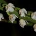 Osmoglossum egertonii – Merle Robboy