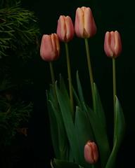 DSC_5216   Tulips for Easter (labels_30) Tags: flowers edmonton tulips muttartconservatory springtime signofspring