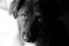 Gos (Aicbon) Tags: verde gos dog perro gossa mirada looking retrato face bw blancoynegro canon 50mm 14