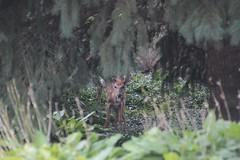 IMG_9246 (thinktank8326) Tags: deer whitetaileddeer fawn doe babyanimal babydeer nature wildlife