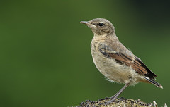 Baby Wheatear (Oenanthe oenanthe). (Sandra Standbridge.) Tags: wheatear bird baby young youngster animal oenantheoenanthe scotland wildandfree outdoor