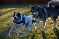 DSC_0026-1 (ScootaCoota Photography) Tags: dog pet animal border collie labrador park play outdoors nature malamute