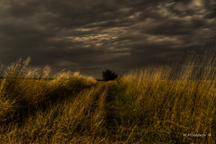 The tree in the field (Milen Mladenov) Tags: 2016 d3200 hdr landscape nikon clouds field grass green nature path road sky summer sunset tree trees view windy