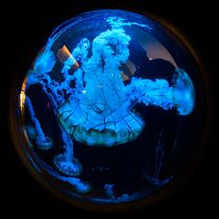 Lucid (Thomas Hawk) Tags: america chicago cnidaria cookcounty illinois johngsheddaquarium museumcampuschicago sheddaquarium usa unitedstates unitedstatesofamerica aquarium jellies jellyfish