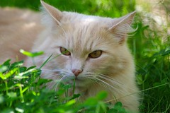 Relaxing In Clover (frankbehrens) Tags: katze katzen cat cats chat chats gato gatos kater tom