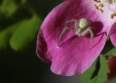 araigne crabe (bulbocode909) Tags: araignes nature fleurs ptales vert ite mais efficace
