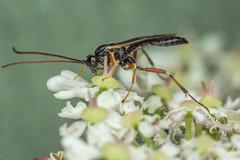 Ichneumon? (steb1) Tags: ichneumon hymenoptera insect macro macroliteconcavediffuser whixallmoss canonmpe65mm pollinator fennsandwhixallmoss