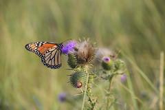DSC_0039 (RYANinHD_87) Tags: maine hermit island campground monarch butterfly thistle dunes grass seagrass sanddunes sand sandunes dunegrass