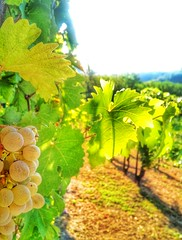 Almost ready for the upcoming harvest... (Eilis88) Tags: harvest grapes nature wine summer oltrepo italy morning natura landscape green