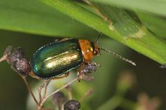 Leaf Beetle - Sermylassa halensis (Prank F) Tags: titchmarshlnr wildlifetrust northantsuk wildlife nature insect macro closeup beetle leaf sermylassahalensis