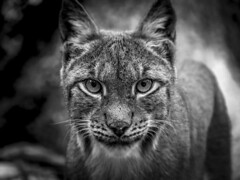 Auge um Auge... (RK - Design  Photography) Tags: luchs lynx schwarz weis black animal blackandwhite white schwarzweis auge eye eyes nature natur katze bw