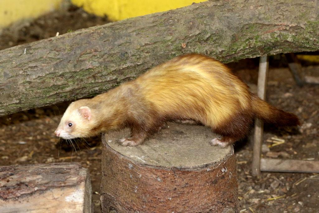 The World 39 s Best Photos of ferret