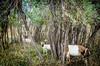 Boulder weedwhackers (CAJC: in the Rockies) Tags: goats sonyrx100m2 weedcontrol boulderco colorado integratedpestmanagement lightroom lightroompresets vignette summer summerincolorado bouldercountyco