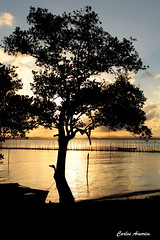 Silhuetas (Carlos Amorim (Camorim10)) Tags: entardecer sunset prdosol silhuetas rvore dourado