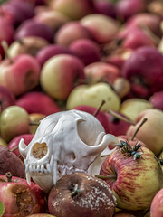 decay (sami kuosmanen) Tags: kuusankoski kouvola luonto suomi summer kes finland fox kettu kallo krpnen ampiainen omena apple fly wasp skull rotten decay mdntynyt syd eat outdoors fruit hedelm red punainen