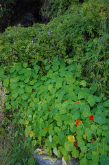 Tropaeolum majus, Fumaria capreolata and Ipomoea cairica, Green Place Reserve, Mosman Park, Perth, WA, 12/08/16 (Russell Cumming) Tags: plant weed tropaeolum tropaeolummajus tropaeolaceae ipomoea ipomoeacairica convolvulaceae greenplacereserve mosmanpark perth westernaustralia