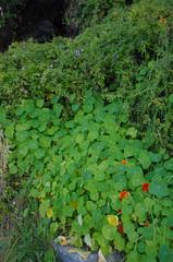 Tropaeolum majus, Fumaria capreolata and Ipomoea cairica, Green Place Reserve, Mosman Park, Perth, WA, 12/08/16 (Russell Cumming) Tags: plant weed tropaeolum tropaeolummajus tropaeolaceae ipomoea ipomoeacairica convolvulaceae greenplacereserve mosmanpark perth westernaustralia