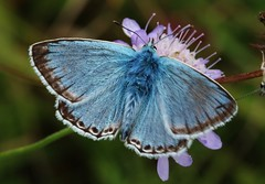 Very Blue (Hugo von Schreck) Tags: hugovonschreck bluling butterfly schmetterling macro makro falter insect insekt outdoor tamronsp90mmf28divcusdmacro11f017 canoneos5dsr onlythebestofnature