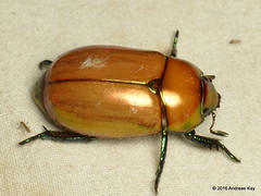 Pelidnota or Strigydia sp.? Rutelidae (Ecuador Megadiverso) Tags: andreaskay beetle coleoptera ecuador jewelscarab loscedros pelidnotasp rutelidae strigydiasp