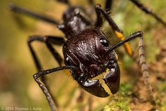 Bullet Ant (Tom's Macro and Nature Photographs) Tags: macrophotography insects ants hymenoptera bulletant sting peru amazon rainforest portrait