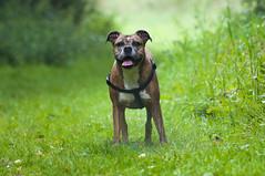Run out on the field! (J Hutcheon) Tags: field walk dog bitch cross americanbulldog boxer smooth bokeh vr 70300 nikkor nikon