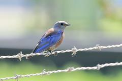 Western Bluebird (5601) (Bob Walker (NM)) Tags: bird sialiamexicana webl westernbluebird whiterock newmexico usa