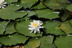 Water lily   (yukky89_yamashita) Tags: いもり池 妙高市 新潟 myoko japan niigata flower lily water pond white