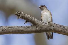 Tree Martin 2016-09-06 (60D_3289) (ajhaysom) Tags: treemartin petrochelidonnigricans woodlandshistoricpark greenvale melbourne australia australianbirds canoneos60d sigma150600