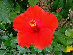Hibiscus Rosa-Sinensis - Hibisco - Flora - Downtown - Rio de Janeiro-RJ (Regis Silbar) Tags: regissilbar regis silbar hibiscusrosasinensis hibisco flora flor florvermelha downtown barradatijuca rio de janeiro rj