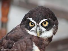 A me gli occhi, please! (Ernesto Imperato - Firenze (Italia)) Tags: gufo scarperia giornaterinascimentali diotto toscana mugello animali uccelli canon eos 7d