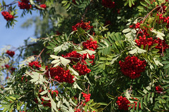 Pihlakad (Jaan Keinaste) Tags: pentax k3 pentaxk3 eesti estonia loodus nature pihlakas sorbus punane red