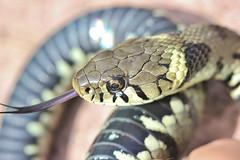 Grass snake , Natrix natrix (4)_filtered (Geckoo76) Tags: grasssnake snake natrixnatrix
