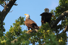 Made in the shade - Vito and Linda the bald eagles - Staten Island, New York (superpugger) Tags: statenislandbaldeagles bald eagles baldeagles newyorkcitywildlife lawrencepugliares lpugliares